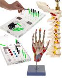 Neue Artikel: Anatomische Modelle, Handübungsbretter und Stecktafeln